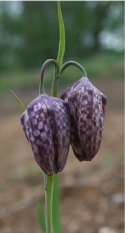 Kingfisher Corner - Fritillaries